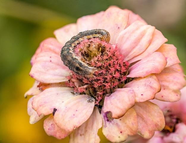 Makroaufnahme einer raupe der gattung helicoverpa auf einem rosa zinnia