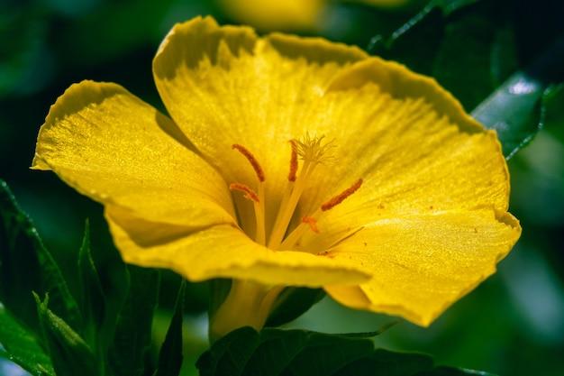 Makroaufnahme einer schönen gelben damianablume, umgeben von grünen blättern