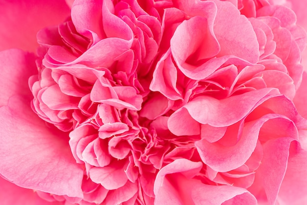 Makroaufnahme einer schönen rosa kamelienblume