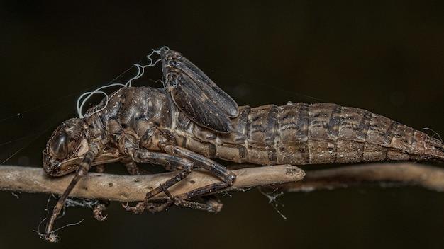 Makroaufnahme eines gruseligen insekts auf einem ast