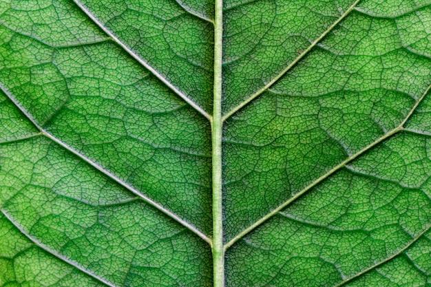 Makrobeschaffenheit des grünen blattabschlusses oben