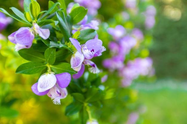 Makrobild der lila violetten frühlingsblumen, abstrakter weicher blumenhintergrund