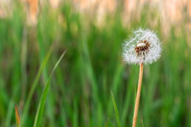 Makrobild des flauschigen löwenzahns im grünen gras