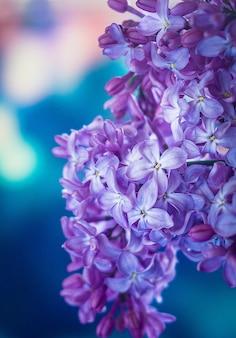 Makrobild von frühlingsfliederviolettblumen, frühlingskonzept.