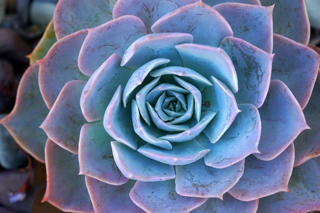 Makroblaue frische saftige echeveria-pflanze - texturhintergrund - blaues naturkonzept, blumenhintergrund und schönes detail