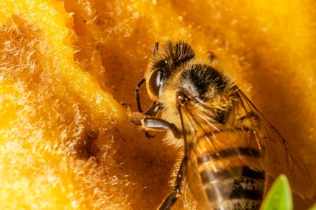 Makrofoto der biene, die mango isst.