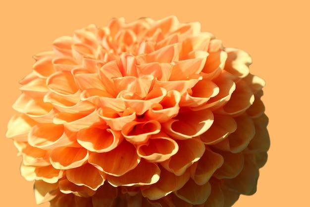 Makrofoto der orangefarbenen dahlie auf orangem hintergrund isoliert