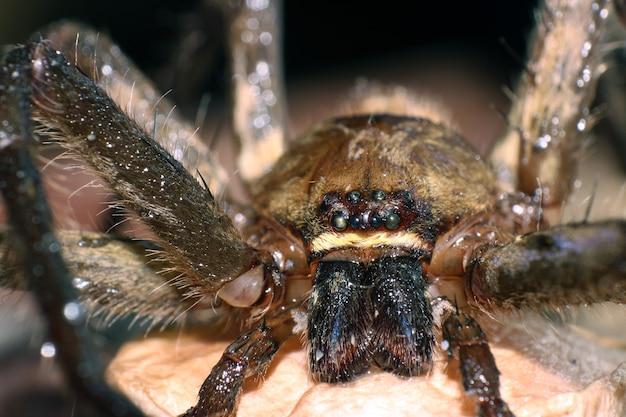 Makrofoto der springenden spinne auf braunem moos mit vielen großen augen des haares