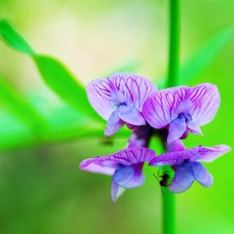 Makrofoto des blühenden wicken-sommer- oder frühlingsmorgens