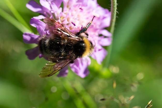 Makrofoto einer hummel, die von der lila blume knautia arvensis füttert, sommerzeit