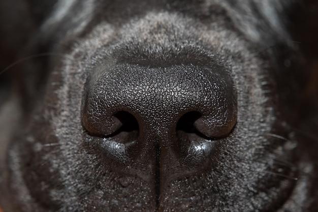 Makrofoto, schwarze labradornase nahaufnahme (selektiver fokus)