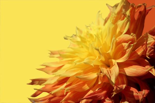 Makrofoto von orangefarbenen und gelben dahlieblütenblättern auf gelbem hintergrund