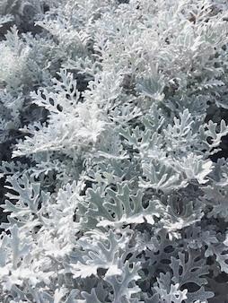 Makrofoto von silberkraut (früher bekannt als senecio cineraria oder jacobaea maritima). nahaufnahmefoto von pflanzenblättern.