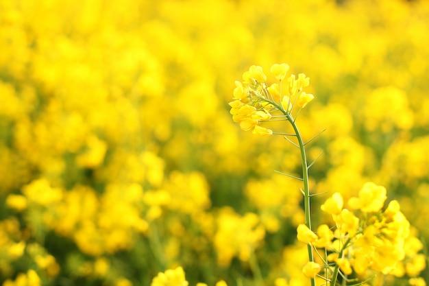 Makrofoto von wildblumen. leuchtend gelbe blumen am morgen schließen. natürliche sommerblumenwand. schöne gelbe blumen. strahlen der untergehenden sonne auf gelben blumen - wiesenblumen