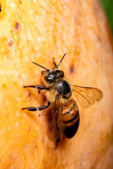 Makrofotografie der biene, die mango isst.