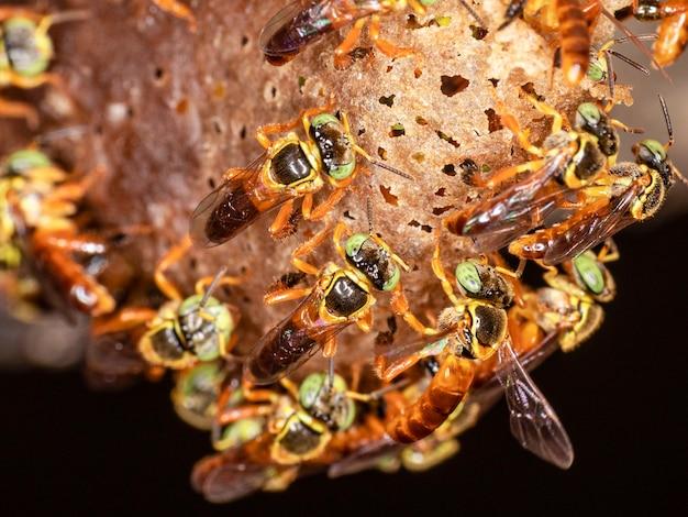 Makrofotografie des eingangs zu einem schwarm der brasilianischen jatai-biene.