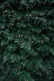 Makrofotografie von immergrünen ästen