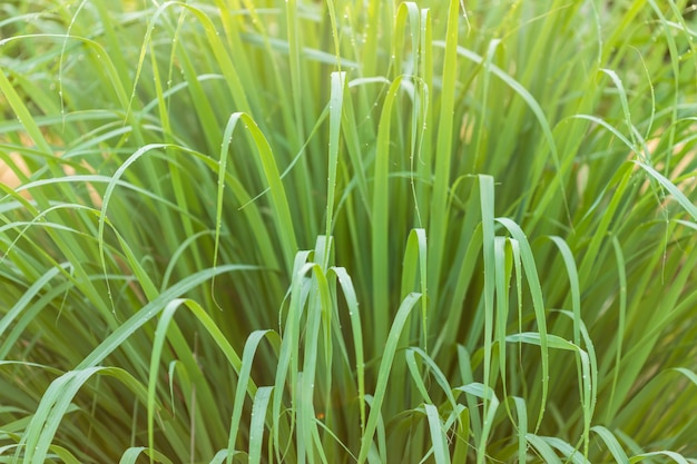 Makrogrünes zitronengrasblatt im garten zur morgenzeit mit wassertropfen und sonnenlicht