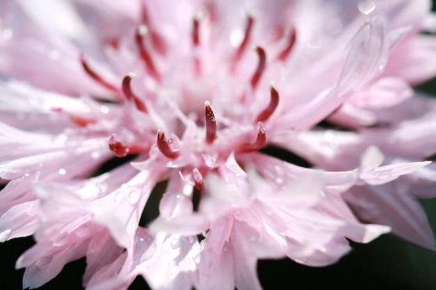 Makropollen auf rosa blume