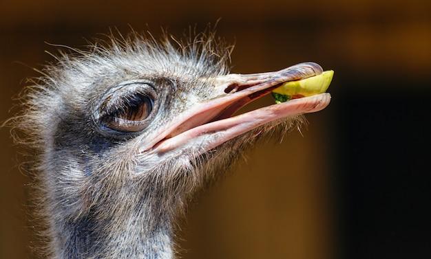 Makroporträt eines straußenkopfes mit einem stück essen im schnabel