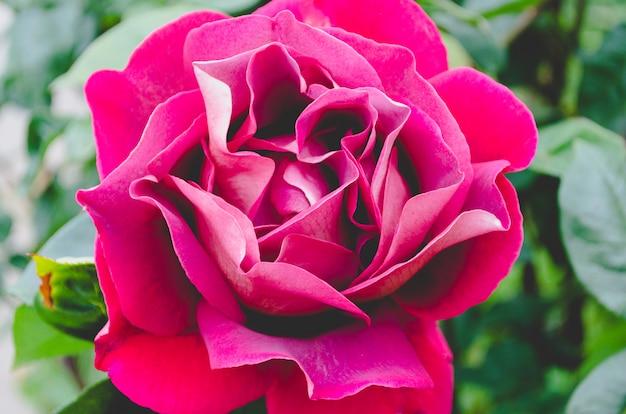 Makrorote rose.