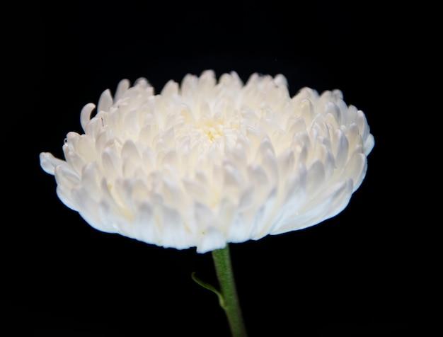 Makroschuß der weißen chrysantheme
