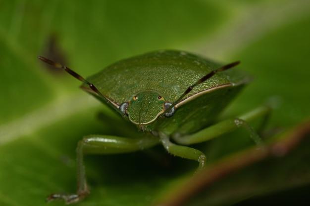 Makroschuss eines grünen schildwanzen auf einem blatt