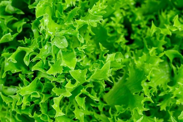Makroschuss von frischen grünen salatblättern