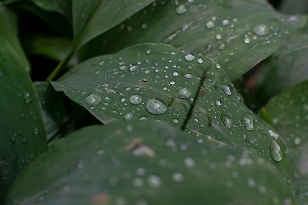 Makroschuss von regentropfen auf grünen blättern. tautropfen auf einem pflanzenblatt
