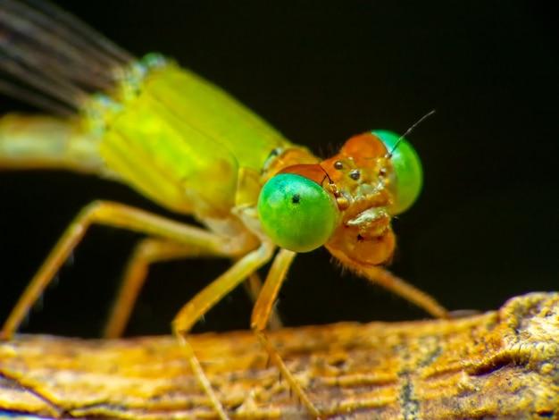 Makroschussauge der libelle in wilder. libelle auf gelbem urlaub. selektiver fokus.