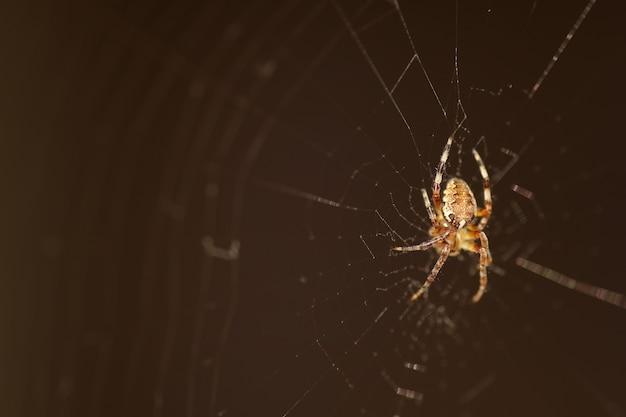 Makrospinne im web