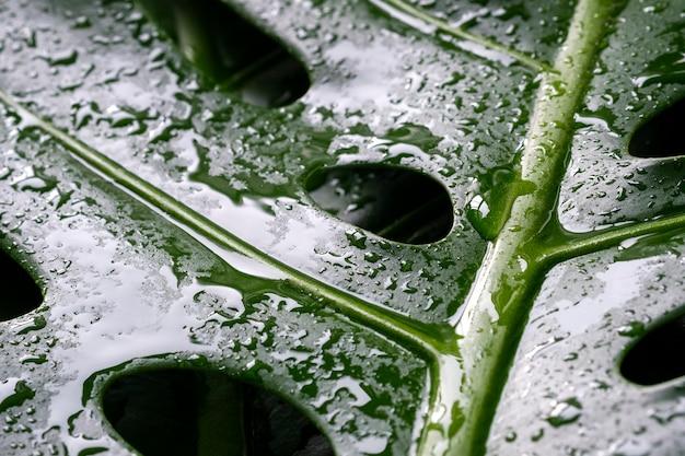 Makrowassertropfen auf tropischen blättern monstera deliciosa oder des schweizer käsebetriebströpfchens