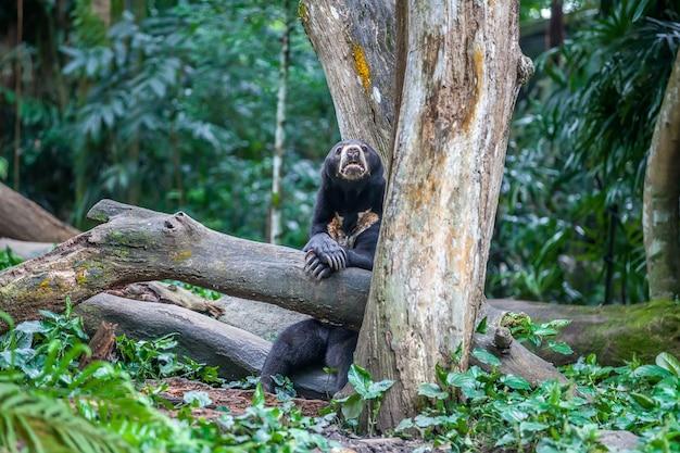 Malaiischer sonnenbär, der auf einem baum stillsteht