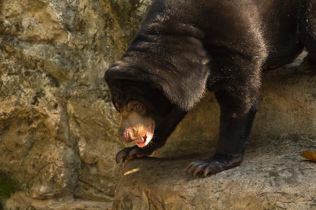 Malaiischer sun-bär im zoo