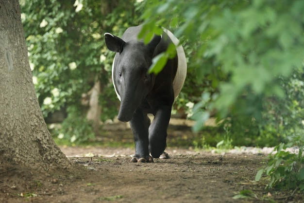 Malaiischer tapir mit baby im naturlebensraum
