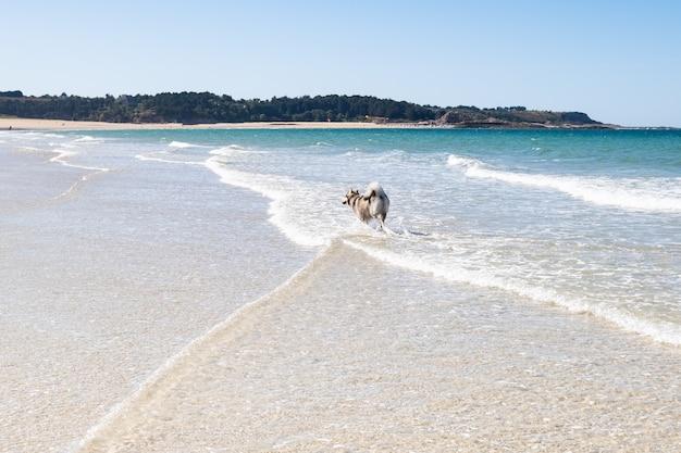 Malamute- oder husky-hund, der im sommer in den wellen eines großen strandes in der bretagne spielt