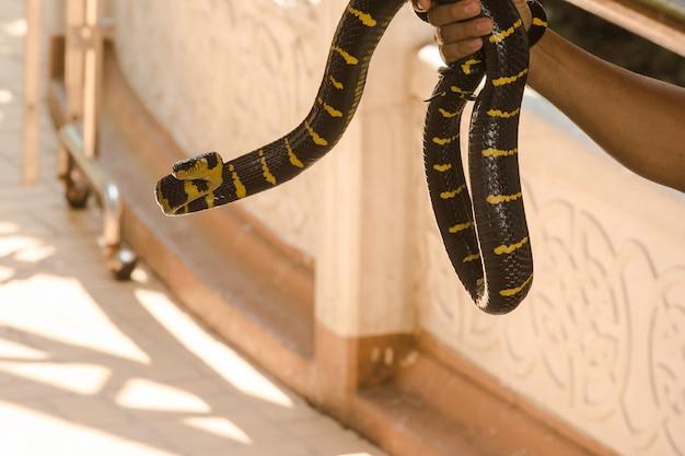 Malayan krait ist auf der hand eines mannes. eine schlange mit schwarzen und weißen streifen entlang der körperlänge.