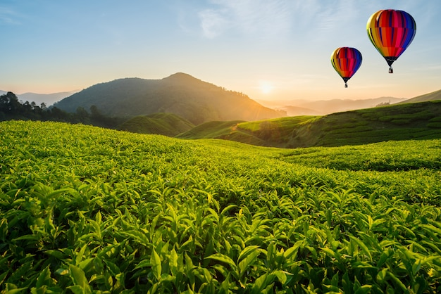 Malaysia-teeplantage in cameron-hochländern mit heißluftballon am morgen in malaysia