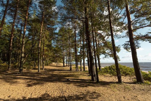 Malerische herbstlandschaft mit kiefern am strand des finnischen golfs im vorort von sankt petersburg, russland.