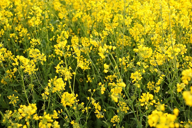 Malerische ländliche landschaft mit gelbem raps-, raps- oder rapsfeld. rapsfeld, blühende rapsblüten schließen. vergewaltigung auf dem feld im sommer. hellgelbes rapsöl. blühender raps