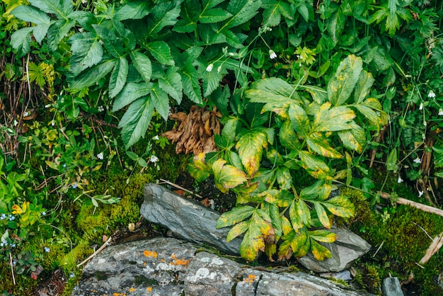 Malerische natur mit üppiger vegetation der berge. moosiger hang mit frischem grün und vielen kleinen blumen am berghang. nasse pflanzen. bunter natürlicher hintergrund der reichen alpinen flora.