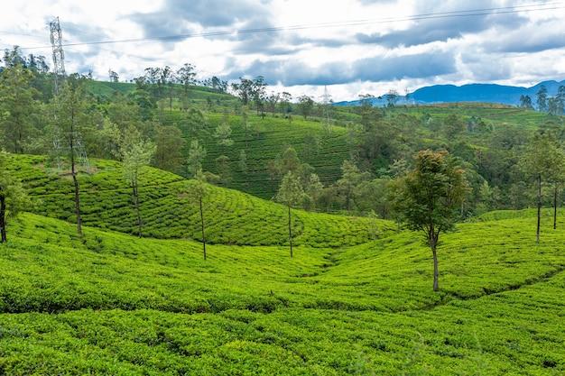 Malerische naturlandschaft. grünteeplantagen im hochland. tee anbauen