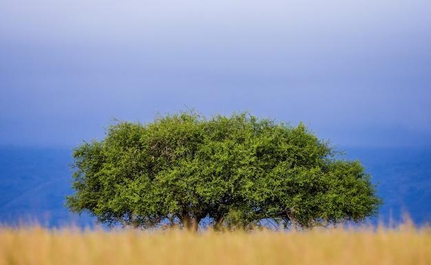 Malerischer baum steht in der savanne gegen den blauen himmel