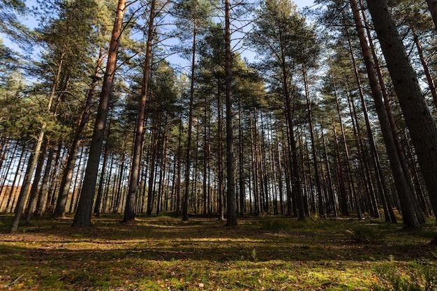 Malerischer blick auf den sonnigen kiefernwald im frühherbst in russland