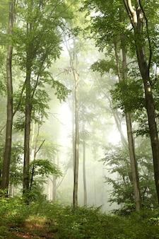 Malerischer frühlingsbuchenwald im nebel