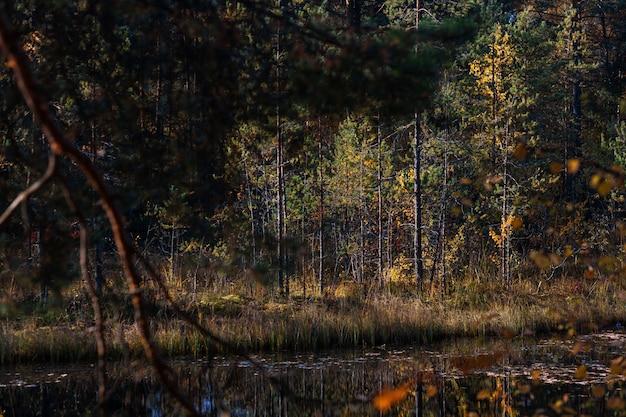 Malerischer sonniger wald im frühherbst in nordwestrussland