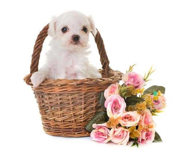 Malteser welpenhund