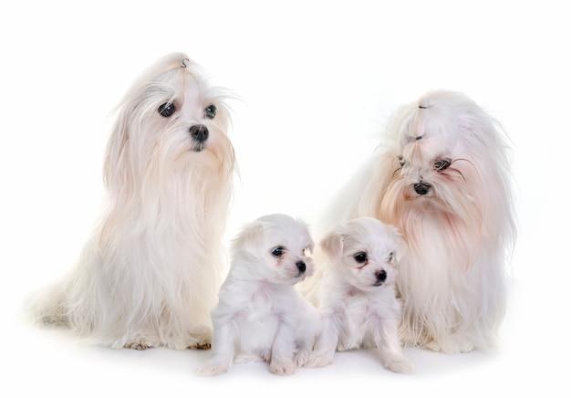 Maltesische familienhunde
