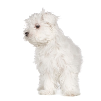 Maltesischer hund mit 3 monaten. hundeporträt isoliert