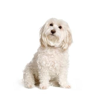 Maltesischer hund